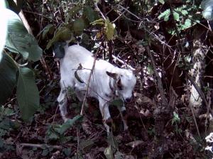 baby-kenyan-goat1