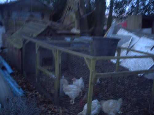 With chicken house and run in place on Sunday evening
