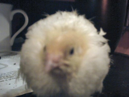 Close up of a A & M Texas quail chick