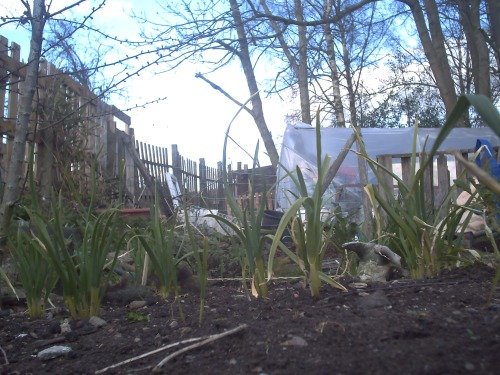The 'Self-Sown' Garlic bed about a month ago, it is very different now.