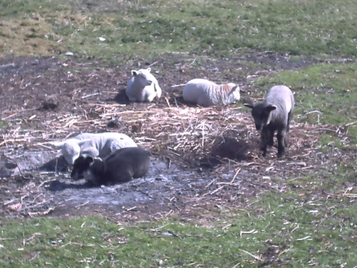 Lambs sunbathing on an old bonfire patch