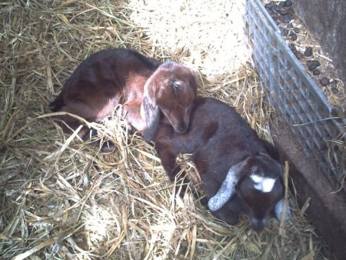 Amy, meaning beloved, and Ada, meaning noble, at about a week old in the afternoon sun. They are so small up to Maude's kids!