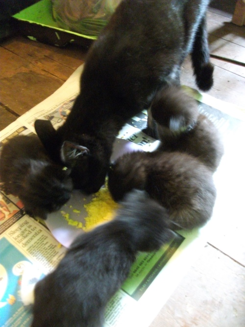 The kittens first meal - 1st August 2010