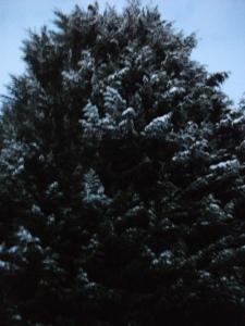 Snowy tree - 23rd December 2010