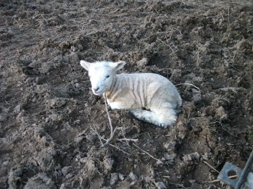 One of our lambs - March 2010