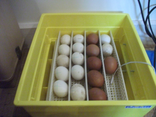 Hatching eggs - 28th February 2011