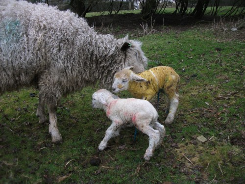 Cotswold cleaning up her new born lambs - 3rd March 2011