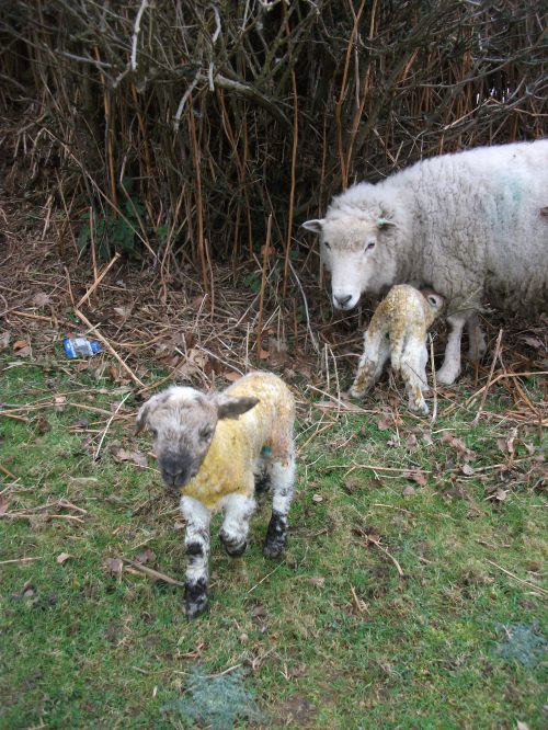 Ivy and her newly born twins - 4th March 2011