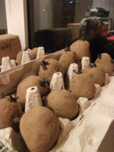 Kestrel seed potatoes chitting - 15th March 2011