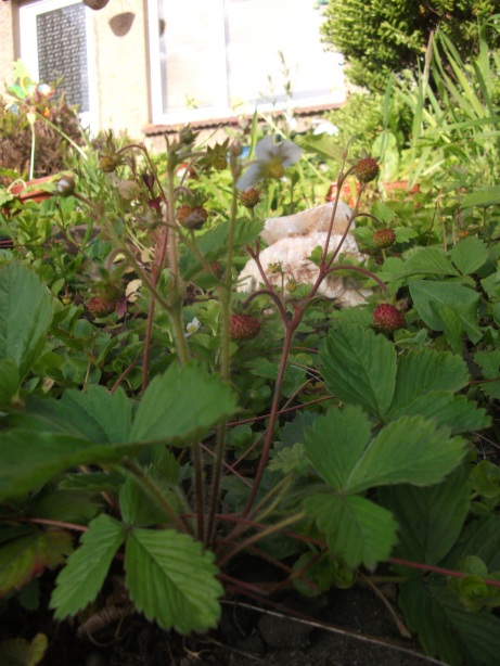 Alpine strawberrys ripening in front of the house - 22nd May 2011