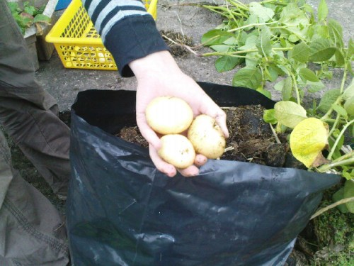First picking; new potatoes - 15th June 2011