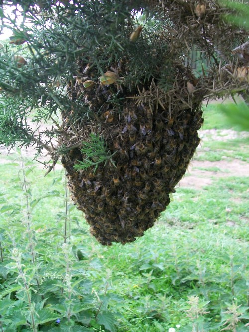 Bee Swarm - 16th June 2011