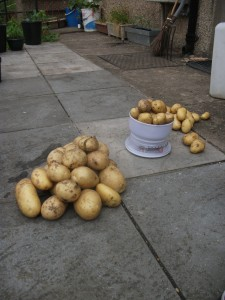 Sorting and weighing; self-sown potato harvest - 3rd July 2011