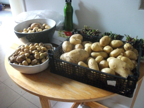 Sorted; self-sown potato harvest - 3rd July 2011