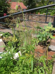 Corn poppy getting ready to flower - 11th July 2011