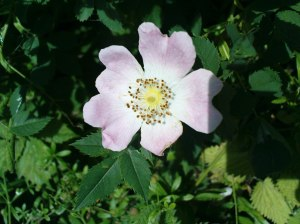 Dog rose flower; somewhere along Lydney Docks - 14th June 2011