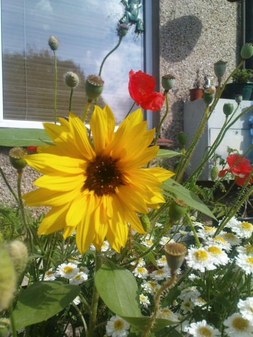This is what the garden looked like as I left to be maid of honour for my friend; the sunflower was the first one to open. - 21st August 2011