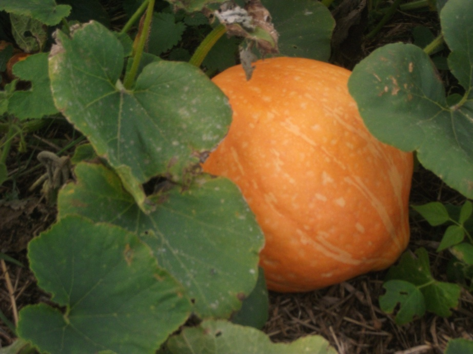 Boston squash; possibly from one of the seeds I saved last year - 16th September 2011