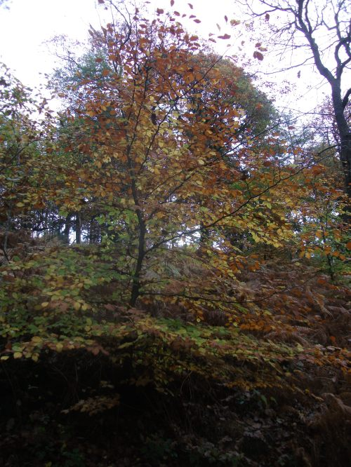Beech sapling standing above a floor of bracken - 5th November 2011