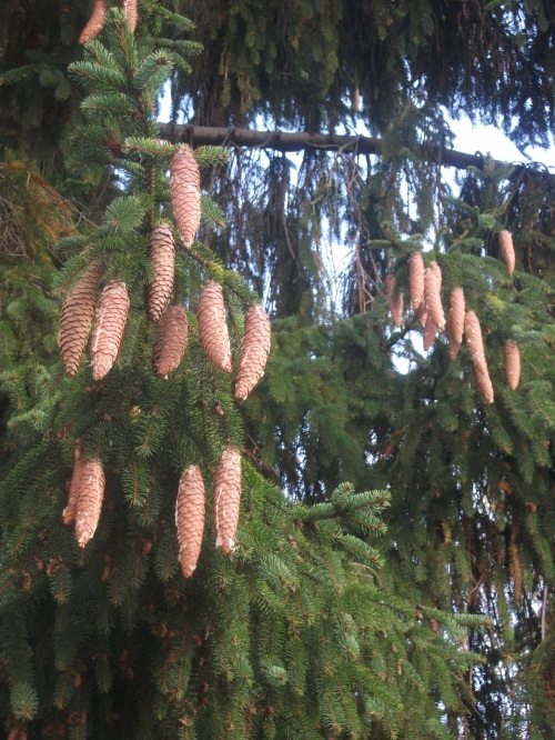 Fir cones dripping in sticky sap - 15th November 2011