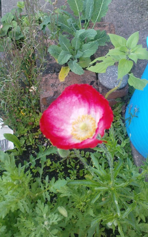 First poppy of the year - 13th July 2011