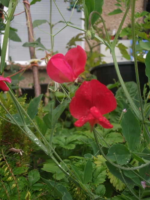 Sweetpeas - 20th August 2011