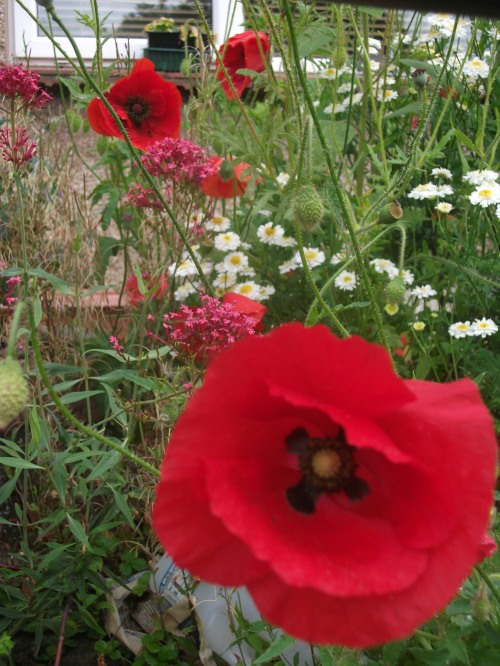 Red field poppies - 20th August 2011