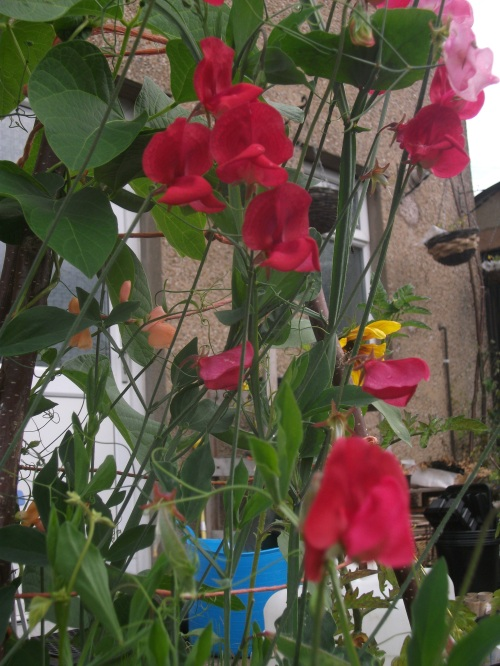 Sweetpea wigwam - 20th August 2011