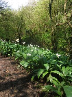 Woodland carpet; Wild Garlic or Ramsons - 7th May 2012