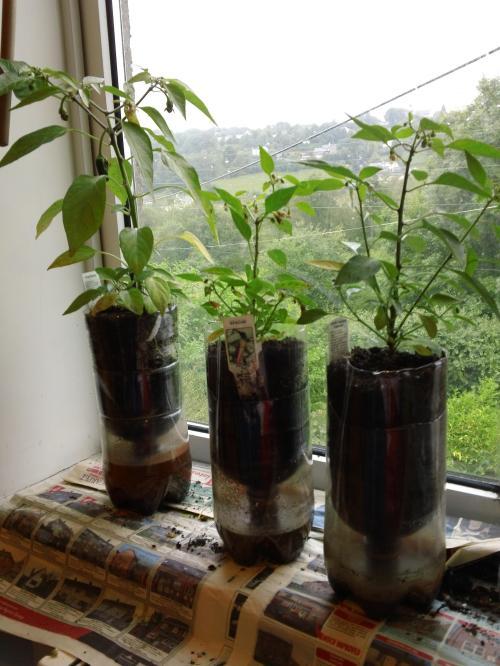Chilli plants ~ July 2012