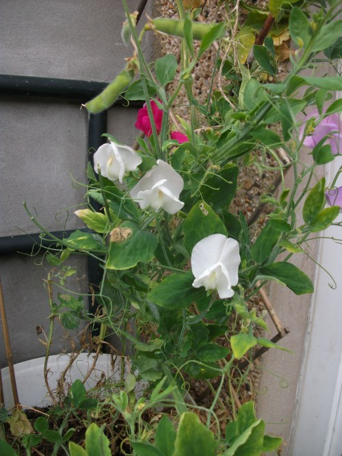 Front garden blooms; sweetpea bucket ~ August 2012
