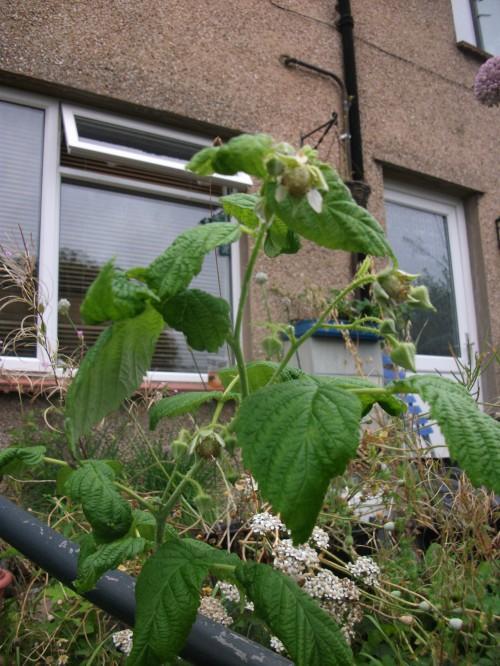 Front garden fruits; all gold autumn fruiting raspberries~ August 2012
