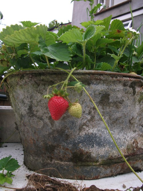 Front garden fruits; red princess strawberry ~ August 2012