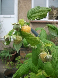 First ripe fruit: All Gold Raspberry ~ 16th September 2012