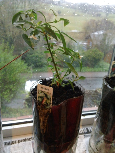 Apache; this chilli seems to be doing the best on my windowsill set-up - November 2012