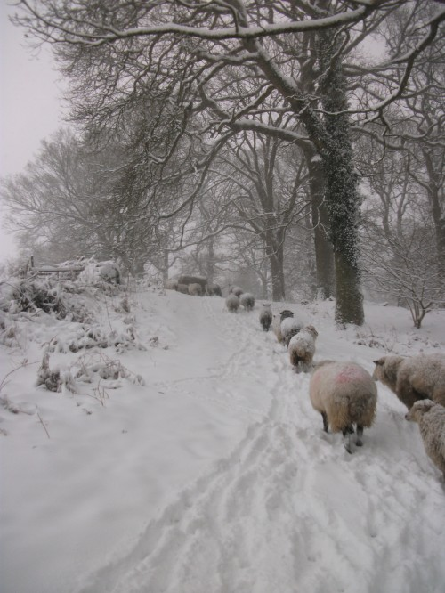 The march up to their big round bale of hay - 18th January 2013