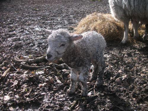 Ivy's ram lamb - February 2013
