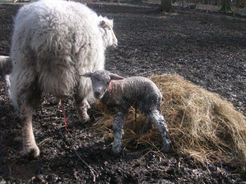 Ivy's ewe lamb - February 2013