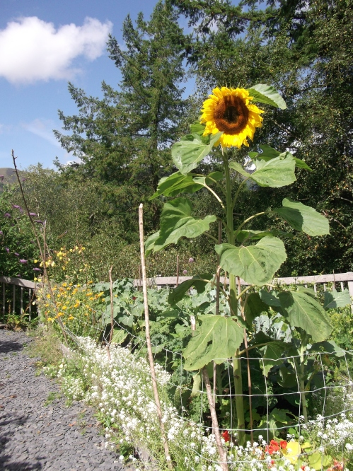 Giant sunflower on teh edge of one of the many organic vegetable beds; CAT August 2013