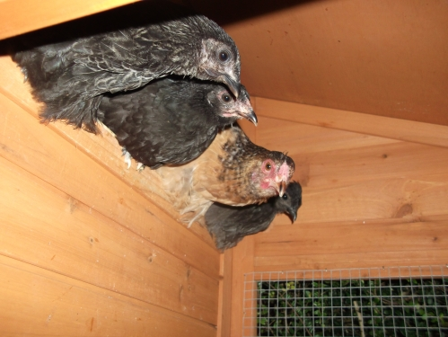 My new chooks; roosting for the night: October 2013