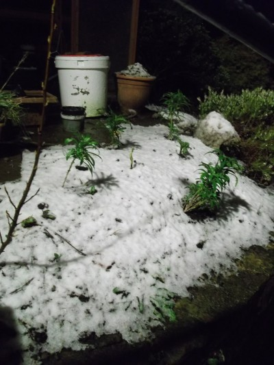 Snowy icing over wallflowers - 26th January 2014