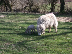 Sophie and her lamb's first trip out after being kept in together to form a 'mother and daughter' bond ~ 9th March 2014