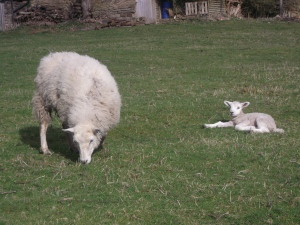Maizie's-white-faced-lamb with her one day old lamb ~ March 2014