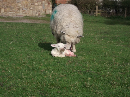 Yearling with her lamb at about 10minutes old ~ April 2014