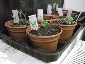 Tomato seedlings ~ April 2014