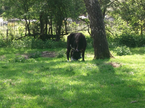 Bridie Moo; one of her first times out on a tether ~ May 2014