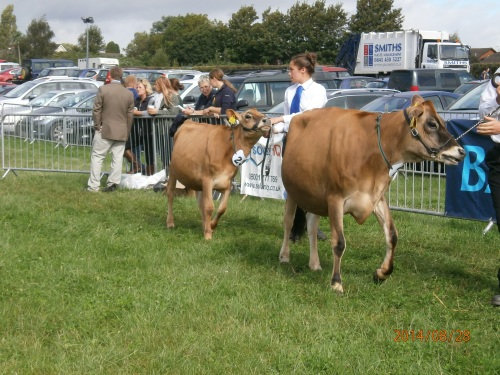 Cattle Judging at Monmouth Show 2014