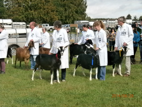 Goat Judging at Monmouth Show 2014