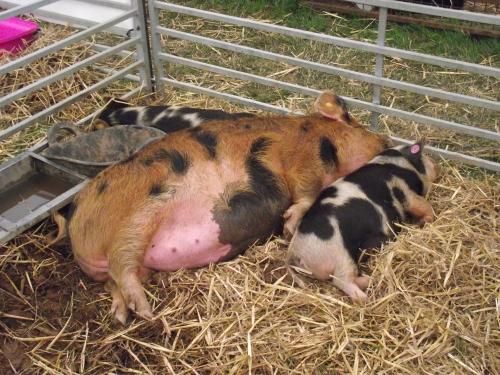 Pig tent Usk Show 2014