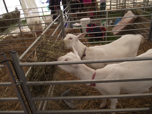 Goat tent Usk Show 2014
